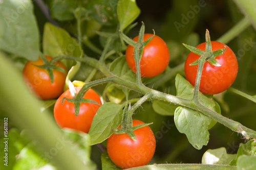 Near ripe tomatos