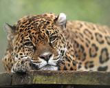 captive jaguar looking solemn, costa rica poster