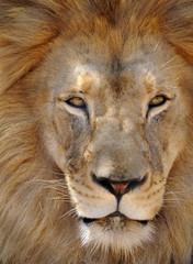 african male lion full frame