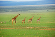 Giraffe mother with foals