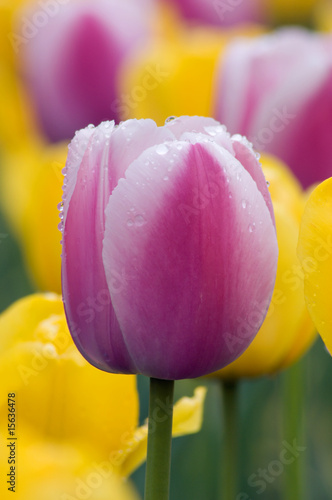 tulip - 15636478