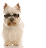 west highland white terrier wearing cool sunglasses
