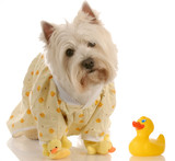 west highland white terrier wearing duckie pajamas poster