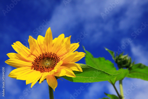 sunflower with sky - 15644200