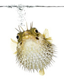 Long-spine porcupinefish (fish) swimming below the waterline poster
