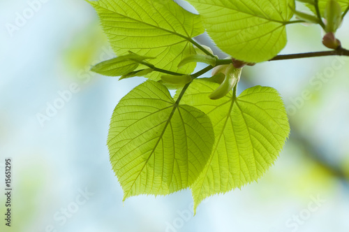 Branch of linden tree. Soft focus