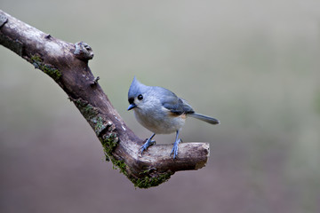 Beautiful little grey, white and brown Tufted Titmouse