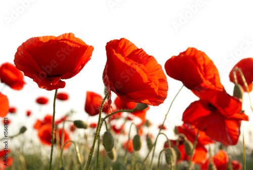 In de dag Poppy Red poppies