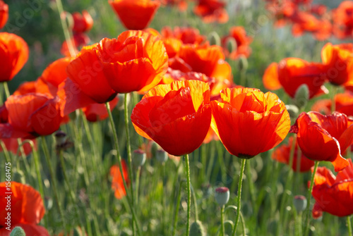 Field of poppies - 15661475