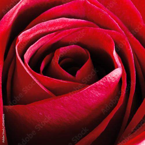 Rosa - 15664036