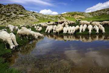Sheep on the Bistra mountain drinking water on the glacier lake