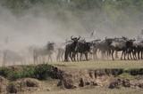 The great migration of wildebeest, Masai Mara, Kenya poster