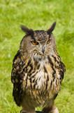 Eurasian Eagle Owl poster