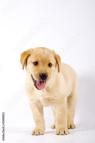 Puppy Labrador retriever with mouth open