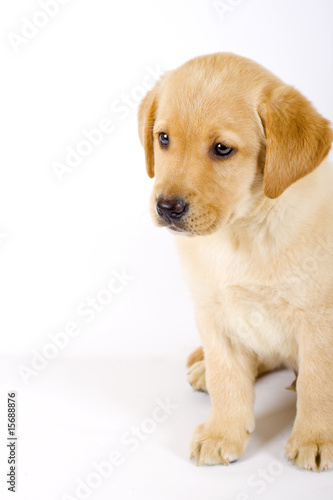 closeup of a labrador retriever puppy