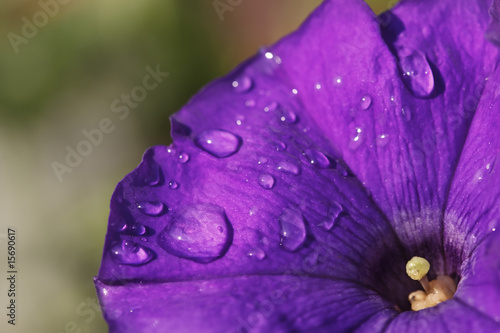 petunia after rain in the mornig light