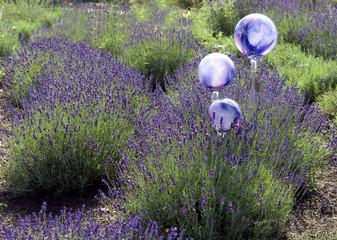 Lavendel, Hidcote Blue