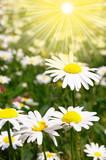 Fototapeta słońce - pole - Kwiat