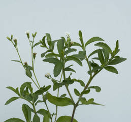 Stevia, Stevia rebaudiana, Suesskraut