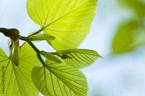 Beautiful green leaves of linden make pattern background