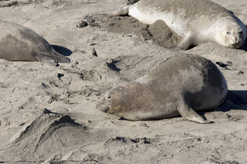 Female Northern Elephant Seal, Mirounga angustirostris