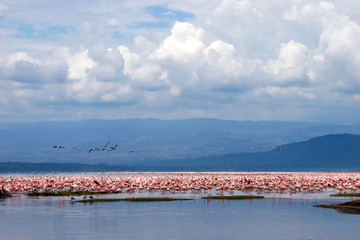 Flamingo birds sitting in a lake