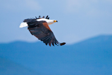 Sea eagle flying in the sky
