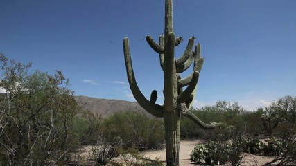 Saguaro National Park Cactus – Panning Down