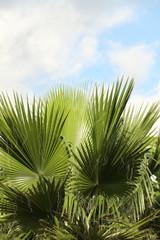 "palmier ""latanier vert"""