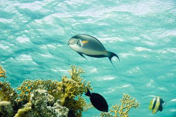 sohal surgeonfish