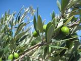 Que d'olives !