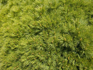 Curtis Dwarf White Pine close-up