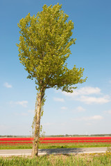 tree in Holland