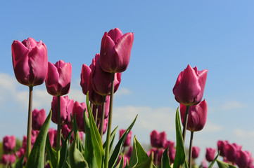 Purple tulips in Holland
