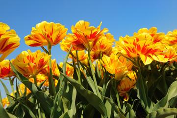 Flowerbulbs in Holland