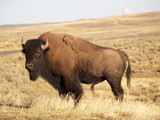 Yellowstone Bison in Fall