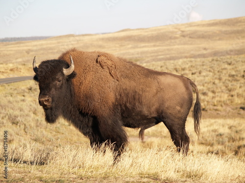 Aluminium Buffel Yellowstone Bison in Fall
