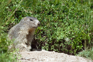 marmot in the nature
