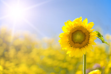 Sunflower in a sunny yellow field