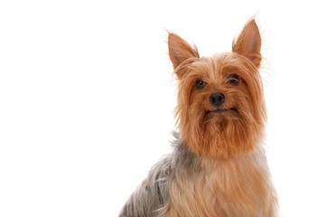 Silky Terrier