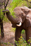 Elephant grasping a tree in the bush of africa poster