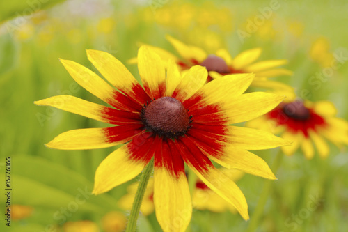 Yellow red chrysanthemum - 15776866