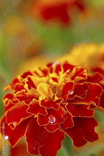 Marigold with water drops - 15776890