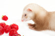 Young ferret with a bowl of strewberry over white.