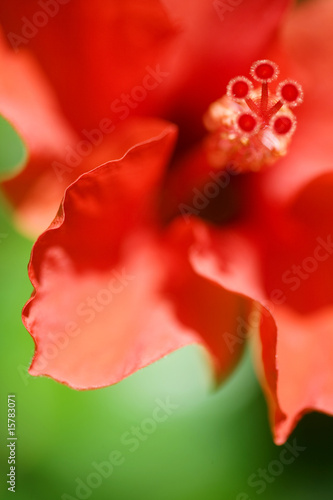 a close-up of bright red hibiskus - 15783071