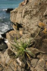 Cliff Plant