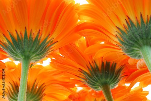 close up of orange gerber flowers