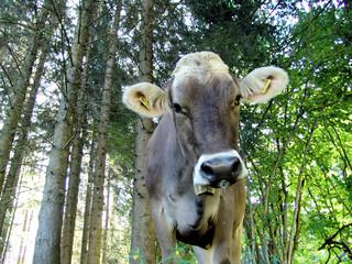Allgäuer Kühe 19