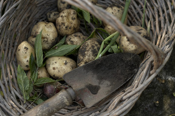 Freshly dug potatoes, mint and an onion in a basket
