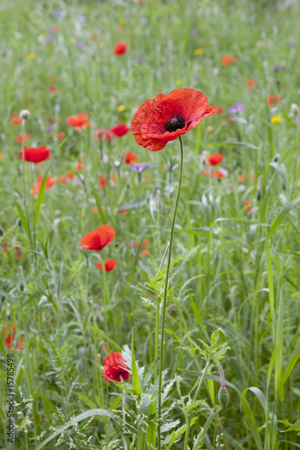 Red blooming poppy in a field